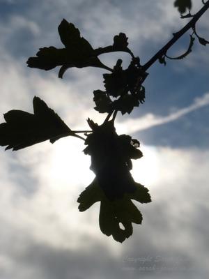 sky leaves