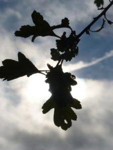 Grasmere acorn in air